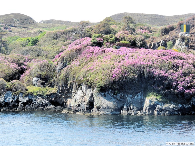Stornoway Rhododendrons
