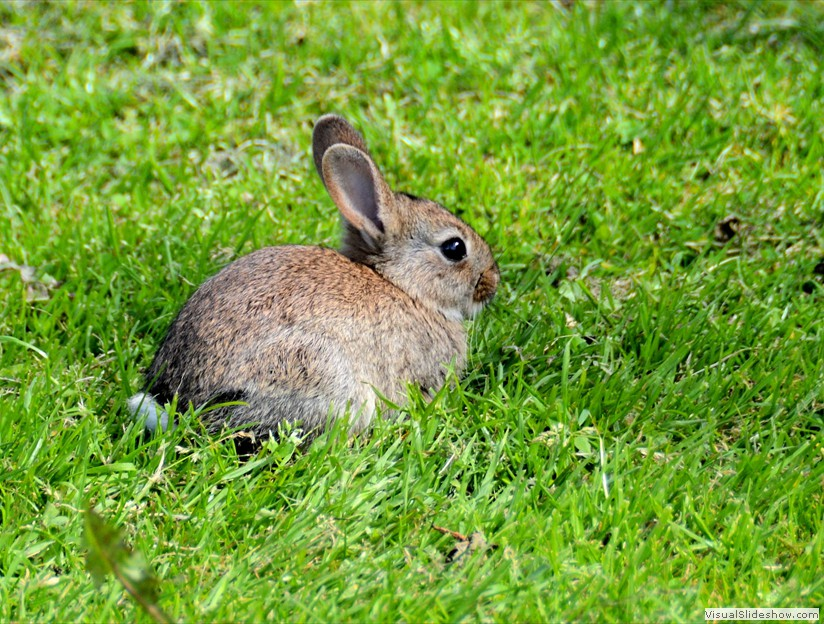 inverness_young_rabbit_020