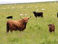 Highland Cattle with calves-1